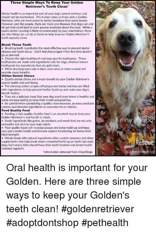 Dogs, Food, and Memes: Three Simple Ways To Keep Your Golden  Retriever's Teeth Clean  Dental health is an important part of your dog's overall wellness and  should not be overlooked. This is even more so if you own a Golden  Retriever, who are more prone to dental problems than some breeds.  However, just like people, there are many oral diseases that dogs can and  do get that could lead to even greater problems down the road. While a  yearly dental cleaning is likely recommended by your veterinarian, there  are also things we can do at home to help keep our Golden Retriever's  teeth squeaky clean.  Brush Those Teeth  . Brushing teeth is probably the most effective way to prevent dental  disease and tooth decay. Don't feel discouraged if the first time doesn't  go as planned  Choose the right toothbrush and dog-specific toothpaste. These  toothpastes are made with ingredients safe for dogs, whereas human  toothpaste has ingredients that are quite toxic.  While brushing every day is ideal, even once or twice a week will  provide major benefits  Utilize Dental Chews  tal chews are a major benefit to your Golden Retriever's  Quality dent  overall health and well-being  The chewing action scrapes off plaque and tartar and they are filled  with ingredients to help prevent further build-up and make your dog's  breath fresher  . They are a delicious treat that your dog won't even know is healthy and  some are long-lasting to keep their minds occupied too  . Be careful when considering a quality chew however, as many products  contain questionable ingredients or excessive fat or calories.  Feed Quality Food  Feeding a high-quality, healthy food is an excellent way to keep your  Golden Retriever's oral health in check.  Immy #  Avoid ingredients like grains, by-products and meals that are not only  unhealthy but stick to your dog's teeth  Poor quality foods will increase plaque and tartar build-up and keep  your pet's dental health and immune system functioning far below th