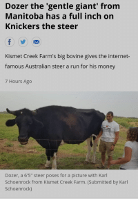 Knickers the Steer