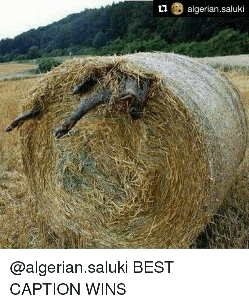 Memes, Captioned, and 🤖: ti  algerian Saluki @algerian.saluki BEST CAPTION WINS