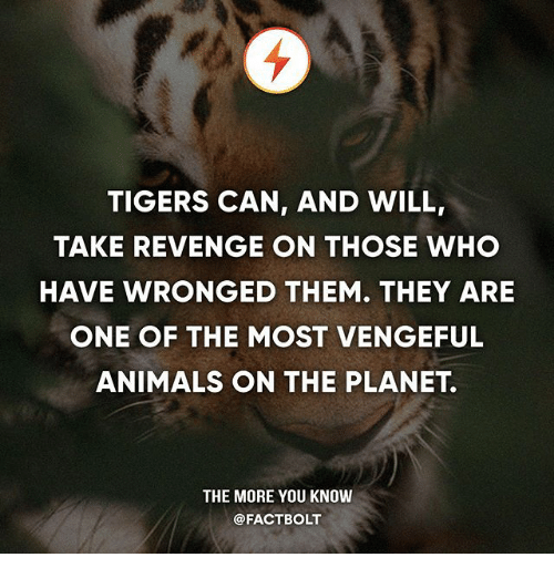 Animals, Memes, and Revenge: TIGERS CAN, AND WILL,  TAKE REVENGE ON THOSE WHO  HAVE WRONGED THEM. THEY ARE  ONE OF THE MOST VENGEFUL  ANIMALS ON THE PLANET.  THE MORE YOU KNOW  @FACTBOLT