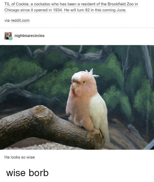 brookfield: TIL of Cookie, a cockatoo who has been a resident of the Brookfield Zoo in  Chicago since it opened in 1934. He wil turn 82 in this coming June.  via reddit.com  nightmarecircles  He looks so wise wise borb