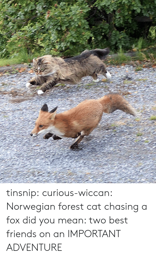 norwegian forest cat: tinsnip:  curious-wiccan: Norwegian forest cat chasing a fox did you mean: two best friends on an IMPORTANT ADVENTURE