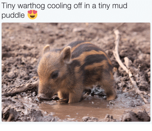 tinie: Tiny warthog cooling off in a tiny mud  puddle