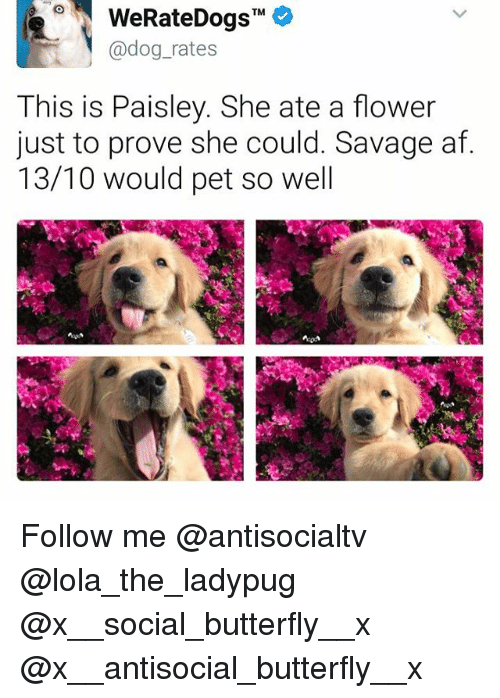 Af, Memes, and Savage: TM  @dog rates  This is Paisley. She ate a flower  just to prove she could. Savage af  13/10 would pet so well Follow me @antisocialtv @lola_the_ladypug @x__social_butterfly__x @x__antisocial_butterfly__x