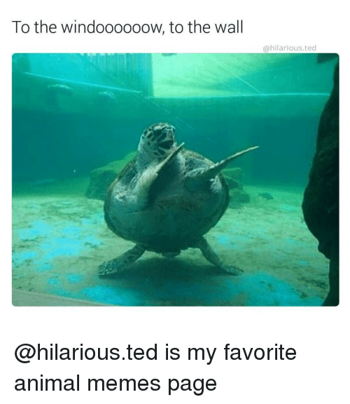 Animal Meme: To the windoooooow, to the wall  hilarious ted @hilarious.ted is my favorite animal memes page