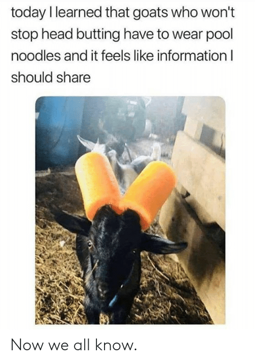 Wont Stop: today I learned that goats who won't  stop head butting have to wear pool  noodles and it feels like information I  should share Now we all know.