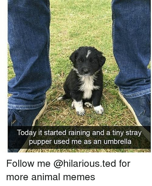 Funny, Memes, and Ted: Today it started raining and a tiny stray  pupper used me as an umbrella Follow me @hilarious.ted for more animal memes