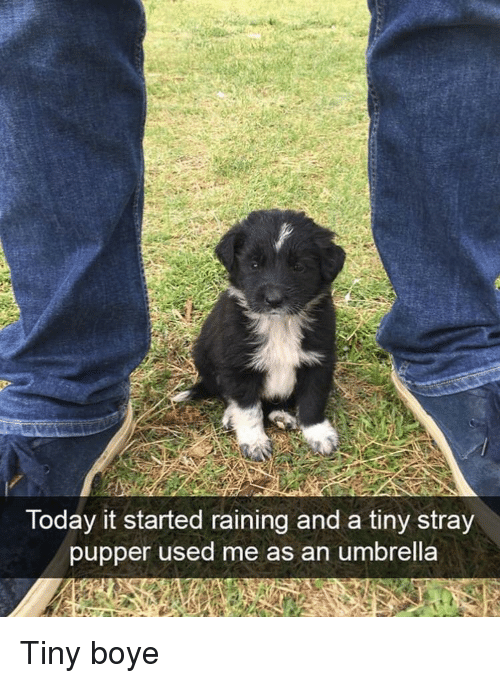 raining: Today it started raining and a tiny stray  pupper used me as an umbrella Tiny boye