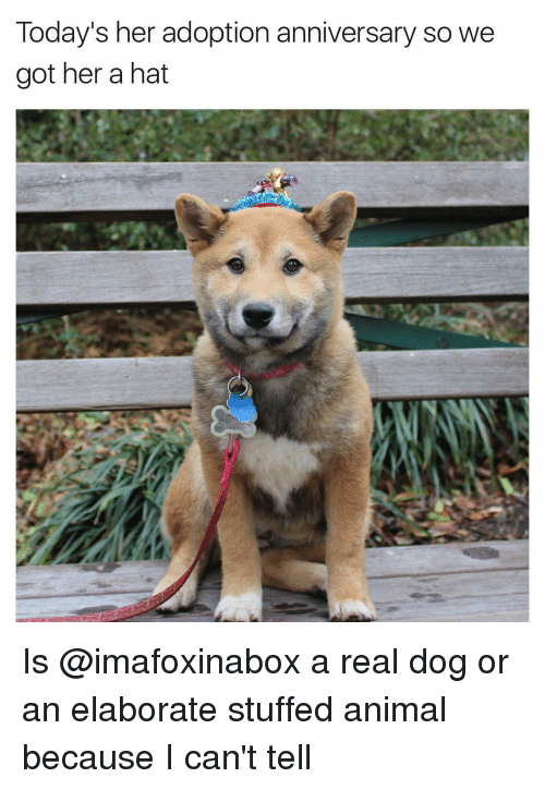 Funny, Anniversary, and Elaborate: Today's her adoption anniversary so we  got her a hat Is @imafoxinabox a real dog or an elaborate stuffed animal because I can't tell