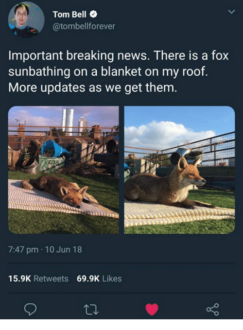News, Breaking News, and Fox: Tom Bell  @tombellforever  Important breaking news. There is a fox  sunbathing on a blanket on my roof  More updates as we get thenm  7:47 pm 10 Jun 18  15.9K Retweets 69.9K Likes
