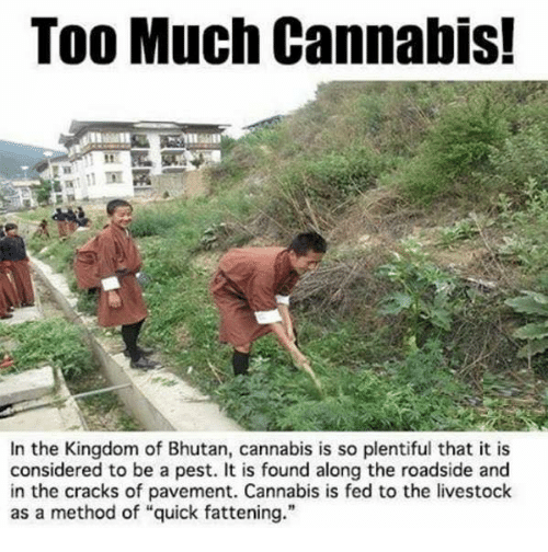"""Bhutan: Too Much Cannabis!  In the Kingdom of Bhutan, cannabis is so plentiful that it is  considered to be a pest. It is found along the roadside and  in the cracks of pavement. Cannabis is fed to the livestock  as a method of """"quick fattening."""""""