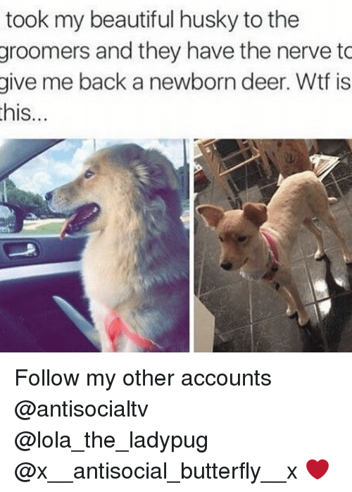 Groomers: took my beautiful husky to the  groomers and they have the nerve to  give me back a newborn deer. Wtf is  his...  IS Follow my other accounts @antisocialtv @lola_the_ladypug @x__antisocial_butterfly__x ❤️