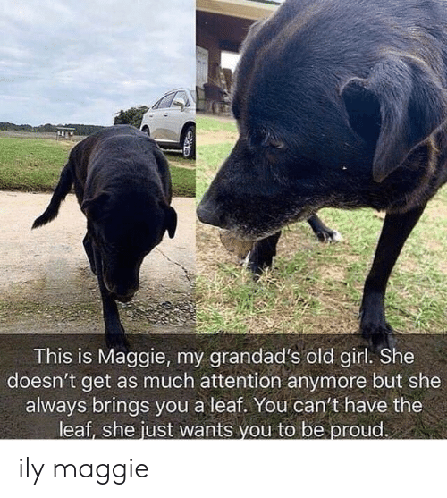 A Leaf: tr  This is Maggie, my grandad's old girl. She  doesn't get as much attention anymore but she  always brings you a leaf. You can't have the  leaf, she just wants vou to be proud. ily maggie