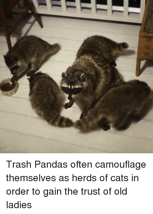 Cats, Trash, and Panda: Trash Pandas often camouflage themselves as herds of cats in order to gain the trust of old ladies