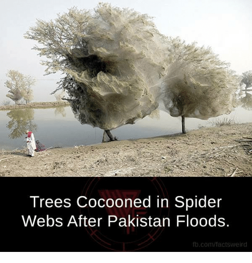 Spider Webbed: Trees Cocooned in Spider  Webs After Pakistan Floods.  fb.com/factsweird