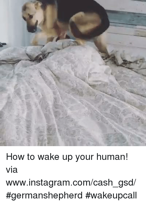 gsd: ts How to wake up your human! via www.instagram.com/cash_gsd/ #germanshepherd #wakeupcall