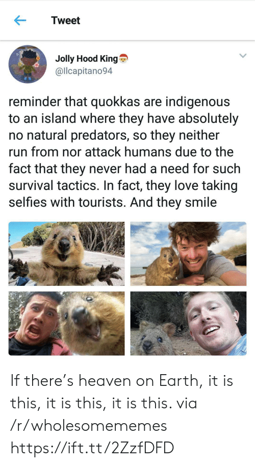 predators: Tweet  Jolly Hood King  @llcapitano94  reminder that quokkas are indigenous  to an island where they have absolutely  no natural predators, so they neither  run from nor attack humans due to the  fact that they never had a need for such  survival tactics. In fact, they love taking  selfies with tourists. And they smile If there's heaven on Earth, it is this, it is this, it is this. via /r/wholesomememes https://ift.tt/2ZzfDFD