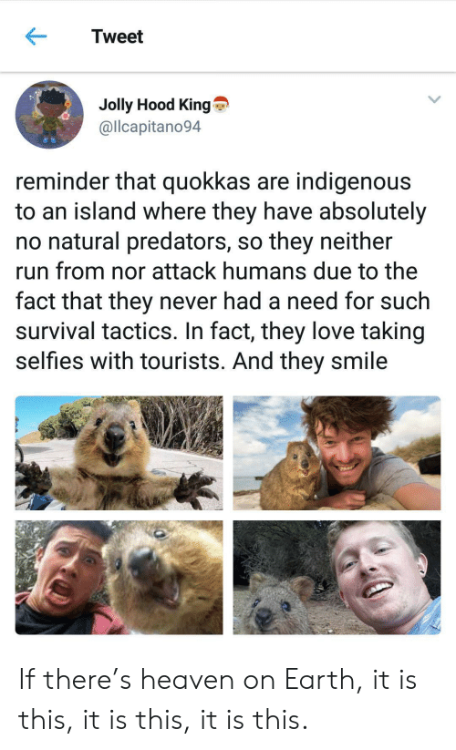 predators: Tweet  Jolly Hood King  @llcapitano94  reminder that quokkas are indigenous  to an island where they have absolutely  no natural predators, so they neither  run from nor attack humans due to the  fact that they never had a need for such  survival tactics. In fact, they love taking  selfies with tourists. And they smile If there's heaven on Earth, it is this, it is this, it is this.