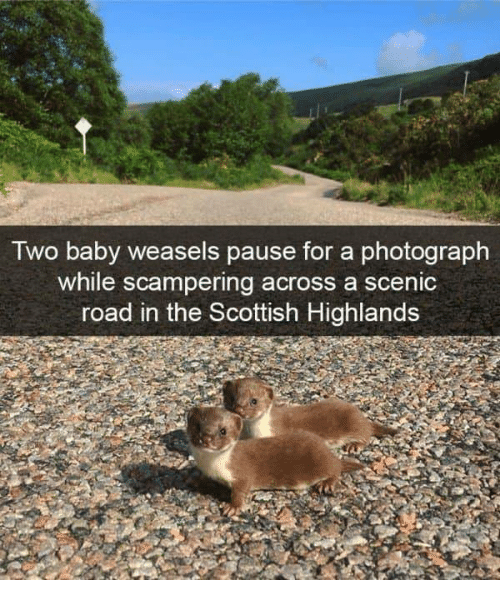 weasels: Two baby weasels pause for a photograph  while scampering across a scenic  road in the Scottish Highlands