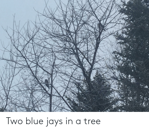 Jays: Two blue jays in a tree