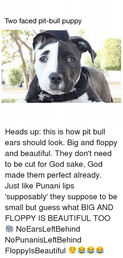 Beautiful, God, and Memes: Two faced pit-bull puppy Heads up: this is how pit bull ears should look. Big and floppy and beautiful. They don't need to be cut for God sake, God made them perfect already. Just like Punani lips 'supposably' they suppose to be small but guess what BIG AND FLOPPY IS BEAUTIFUL TOO 🐘 NoEarsLeftBehind NoPunanisLeftBehind FloppyIsBeautiful 🤤😂😂😂