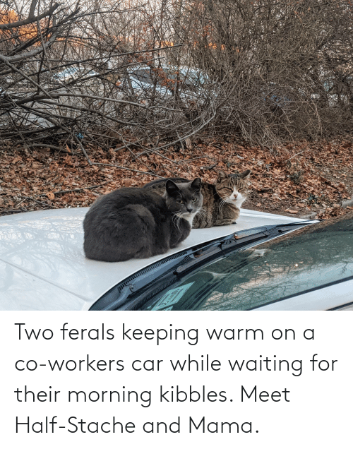 stache: Two ferals keeping warm on a co-workers car while waiting for their morning kibbles. Meet Half-Stache and Mama.