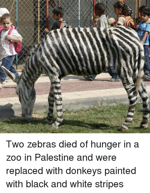 white stripes: Two zebras died of hunger in a zoo in Palestine and were replaced with donkeys painted with black and white stripes