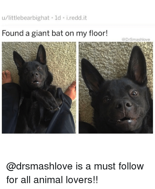 Memes, Animal, and Giant: u/littlebearbighat ld i.redd.it  Found a giant bat on my floor!  @DrSmashlove @drsmashlove is a must follow for all animal lovers!!