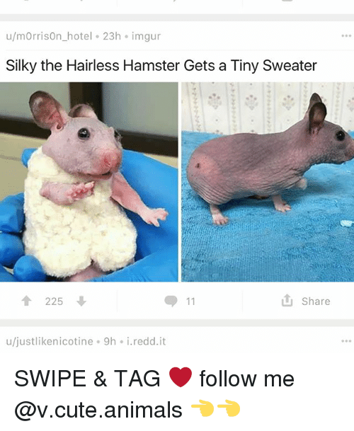 Animals, Cute, and Cute Animals: u/mOrrisOn hotel 23h imgur  Silky the Hairless Hamster Gets a Tiny Sweater  225 ↓  Share  u/justlikenicotine 9h i.redd.it SWIPE & TAG ❤️ follow me @v.cute.animals 👈👈