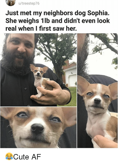 Af, Memes, and Saw: u/treestep76  Just met my neighbors dog Sophia.  She weighs 1lb and didn't even look  real when I first saw her. 😂Cute AF