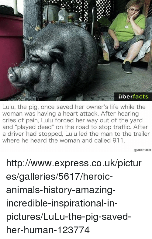 """Memes, Traffic, and On the Road: uber  facts  Lulu, the pig, once saved her owner's life while the  woman was having a heart attack. After hearing  cries of pain, Lulu forced her way out of the yard  and """"played dead"""" on the road to stop traffic. After  a driver had stopped, Lulu led the man to the trailer  where he heard the woman and called 911  @UberFacts http://www.express.co.uk/pictures/galleries/5617/heroic-animals-history-amazing-incredible-inspirational-in-pictures/LuLu-the-pig-saved-her-human-123774"""