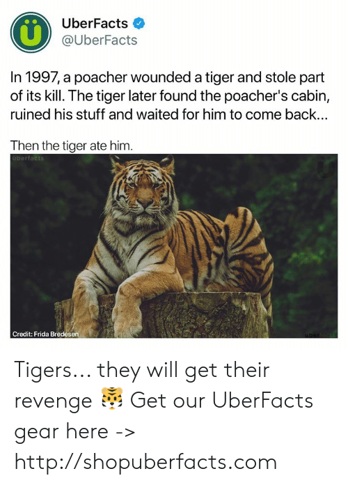Tigers: UberFacts  @UberFacts  In 1997, a poacher wounded a tiger and stole part  of its kill. The tiger later found the poacher's cabin,  ruined his stuff and waited for him to come back...  Then the tiger ate him  uberfacts  Credit: Frida Bredesen Tigers... they will get their revenge 🐯  Get our UberFacts gear here -> http://shopuberfacts.com