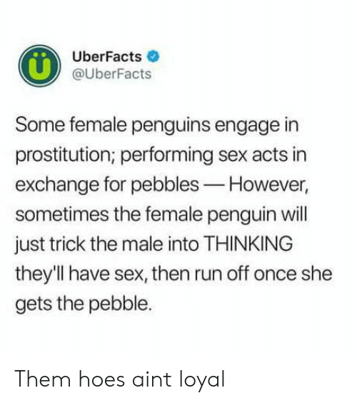 prostitution: UberFacts  @UberFacts  Some female penguins engage in  prostitution; performing sex acts in  exchange for pebbles-However,  sometimes the female penguin will  just trick the male into THINKING  they'Il have sex, then run off once she  gets the pebble. Them hoes aint loyal