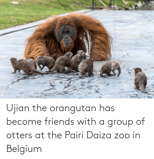 Otters: Ujian the orangutan has become friends with a group of otters at the Pairi Daiza zoo in Belgium