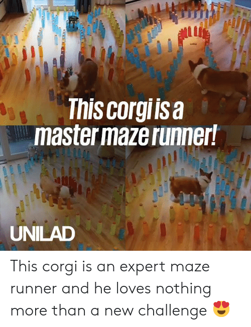 maze: ul  This corgiisa  master maze runner!  UNILAD This corgi is an expert maze runner and he loves nothing more than a new challenge 😍