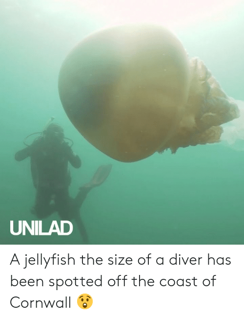 jellyfish: UNILAD A jellyfish the size of a diver has been spotted off the coast of Cornwall 😲