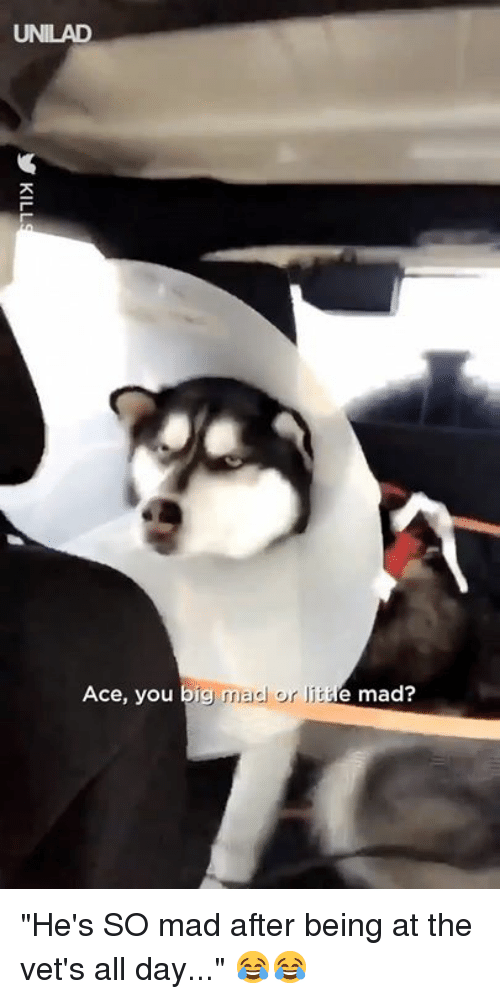 """Big Mad: UNILAD  Ace, you big  mad or I  e mad? """"He's SO mad after being at the vet's all day..."""" 😂😂"""