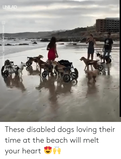 Disabled: UNILAD  ANIMALSANCTUARY TANGIER These disabled dogs loving their time at the beach will melt your heart 😍🙌