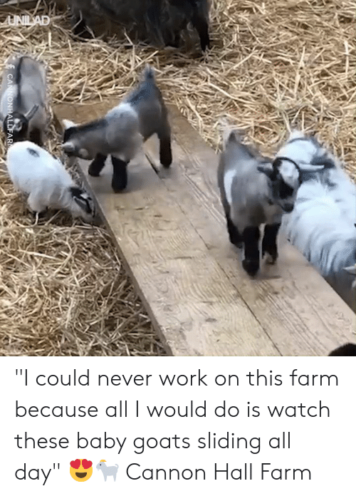 "sliding: UNILAD  CANNONHALLFAR ""I could never work on this farm because all I would do is watch these baby goats sliding all day"" 😍🐐  Cannon Hall Farm"