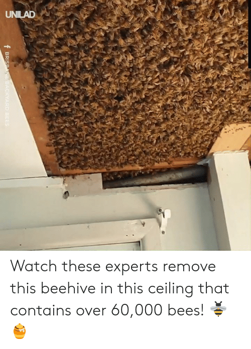 backyard: UNILAD  f BRISPANE BACKYARD BEES Watch these experts remove this beehive in this ceiling that contains over 60,000 bees! 🐝🍯
