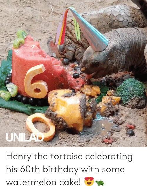 60th birthday: UNILAD Henry the tortoise celebrating his 60th birthday with some watermelon cake! 😍🐢