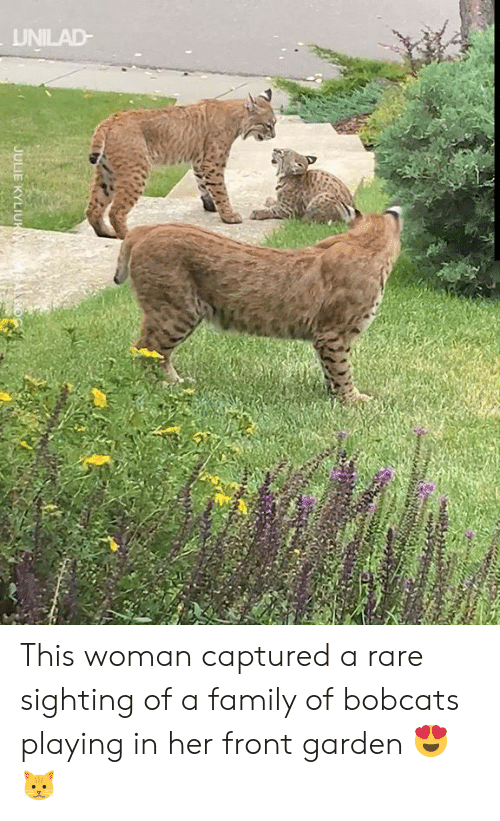 captured: UNILAD-  JULIE KYLIUK This woman captured a rare sighting of a family of bobcats playing in her front garden 😍🐱