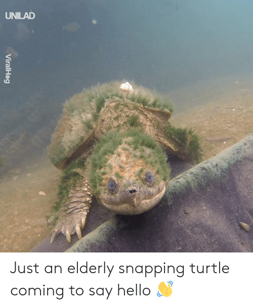 snapping: UNILAD  ni Just an elderly snapping turtle coming to say hello 👋