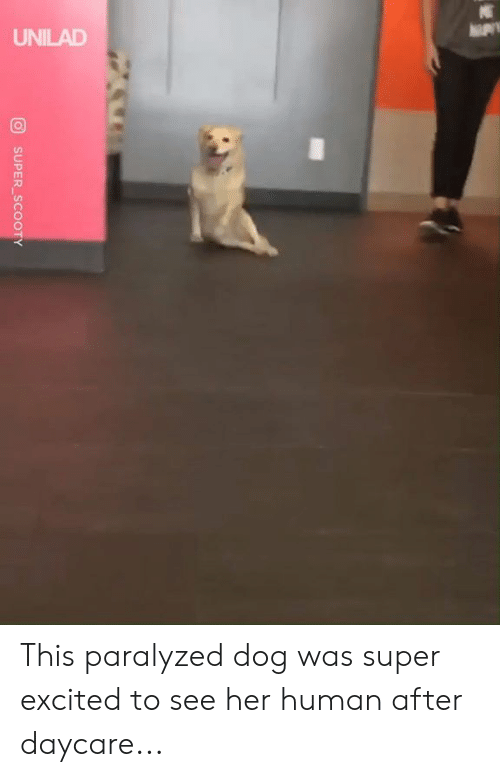 Daycare: UNILAD  SUPER SCOOTY This paralyzed dog was super excited to see her human after daycare...