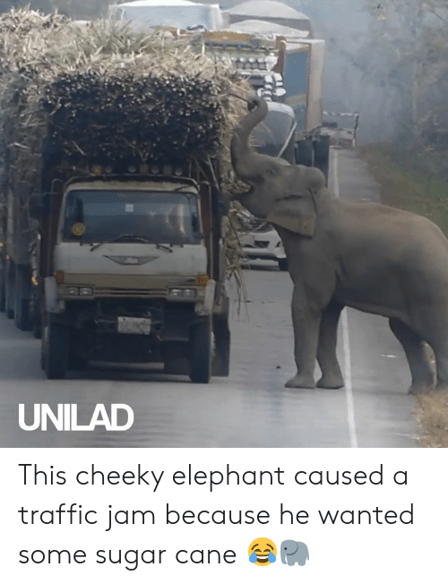 cane: UNILAD This cheeky elephant caused a traffic jam because he wanted some sugar cane 😂🐘