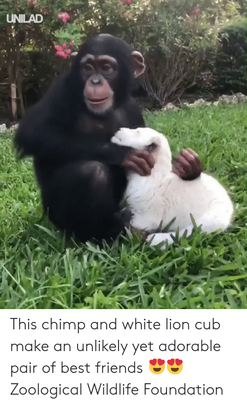 Chimp: UNILAD This chimp and white lion cub make an unlikely yet adorable pair of best friends 😍😍  Zoological Wildlife Foundation