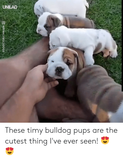 Bulldog: UNILAD  WRINKLYBULLDOGS These timy bulldog pups are the cutest thing I've ever seen! 😍😍