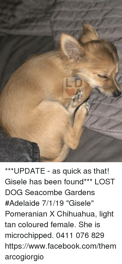 """gisele: ***UPDATE - as quick as that! Gisele has been found***  LOST DOG Seacombe Gardens  #Adelaide 7/1/19 """"Gisele"""" Pomeranian X Chihuahua, light tan coloured female. She is microchipped.  0411 076 829 https://www.facebook.com/themarcogiorgio"""