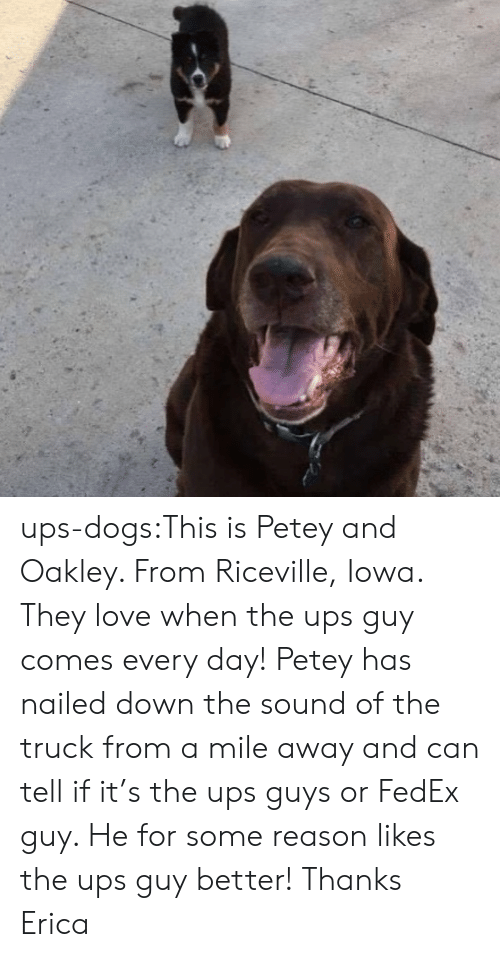 Iowa: ups-dogs:This is Petey and Oakley. From Riceville, Iowa. They love when the ups guy comes every day! Petey has nailed down the sound of the truck from a mile away and can tell if it's the ups guys or FedEx guy. He for some reason likes the ups guy better! Thanks Erica