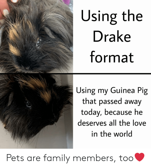 guinea: Using the  Drake  format  Using my Guinea Pig  that passed away  today, because he  deserves all the love  in the world Pets are family members, too❤️